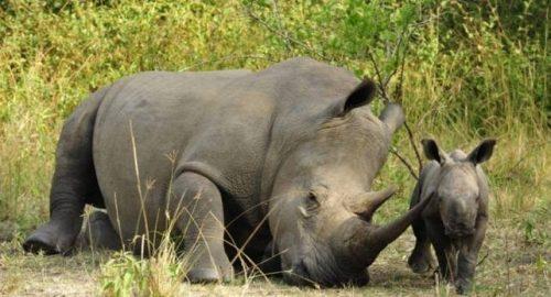 Uganda Wildlife Authority Closes Ziwa Rhino Sanctuary